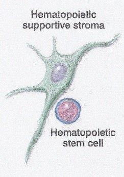 dossier cellules souches medecine